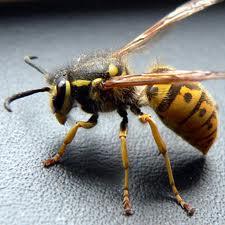 vespa vulgaris